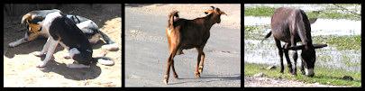 Hond,ezel en geit ©Lou Andreoli