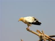 egyptian-vulture