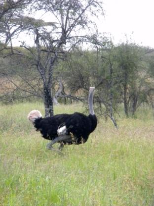ostrich-2