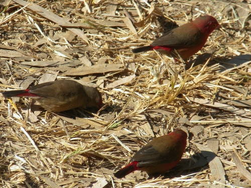 redbilled-firefinch