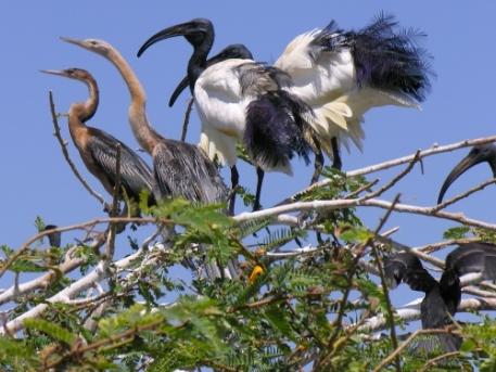 slangenhalsvogel-ibis
