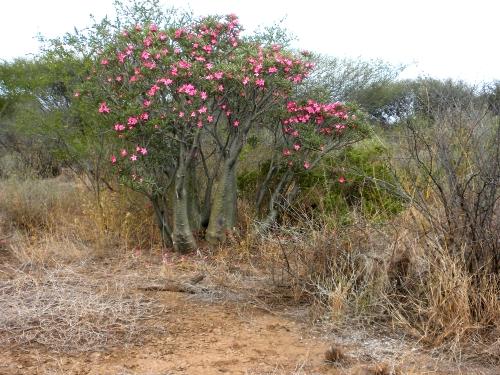 Elephant Tree;